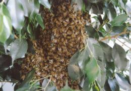 Enjambre de abejas africanizadas siembran el terror en Tepic