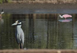 Anuncian Festival de Aves Migratorias en las Lagunas Encantadas