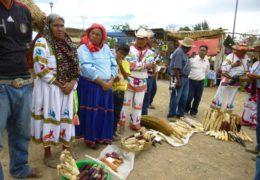 Preservan variedades criollas de maíz para frenar entrada de transgénicos