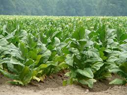 Se retira Tadesa, fin a la producción de tabaco en Nayarit