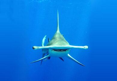 Descubren tiburón vegetariano