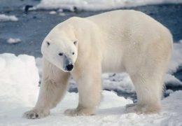 Los osos polares podrían desaparecer