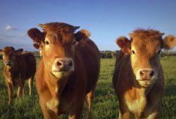 Más ganado para los pequeños productores