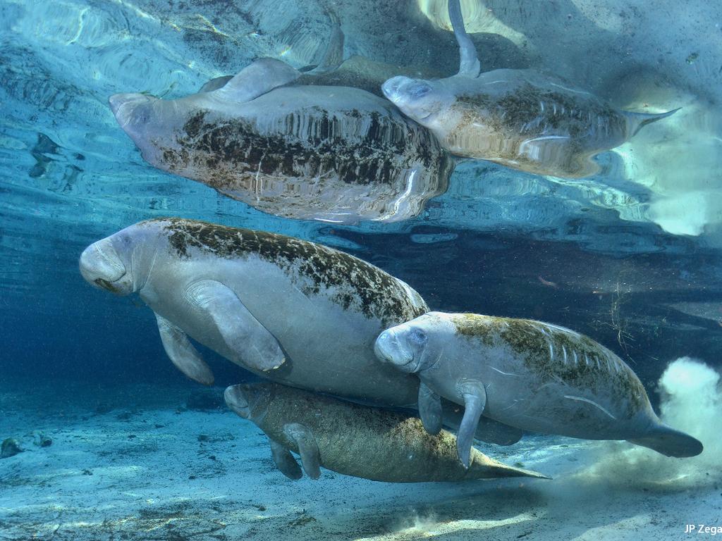 SEMARNAT busca la conservación del manatí