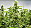Secretaría de Salud aporta lineamientos para la regulación de la cannabis