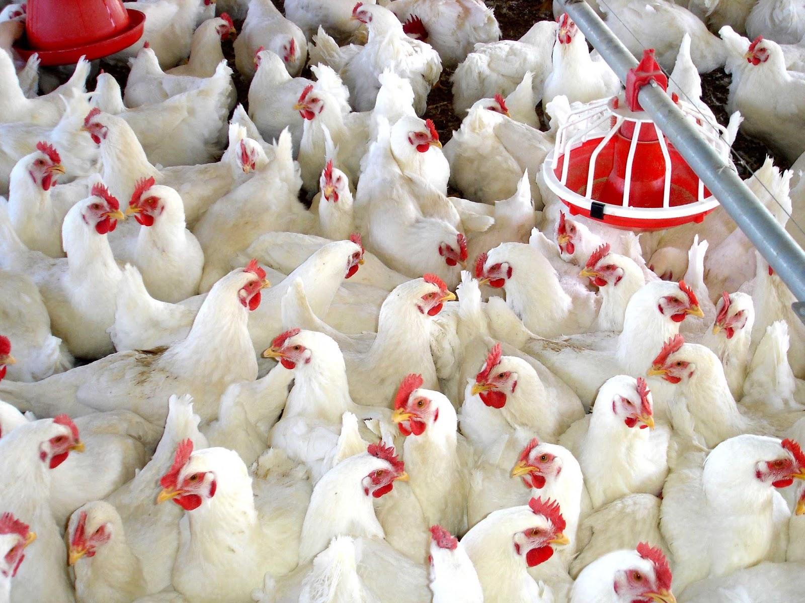 Atiende Senasica con oportunidad brotes de influencia aviar