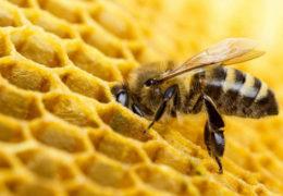 Desarrolla Inifap suplementos alimenticios para nutrir abejas durante escasez de floración en el sur sureste del país