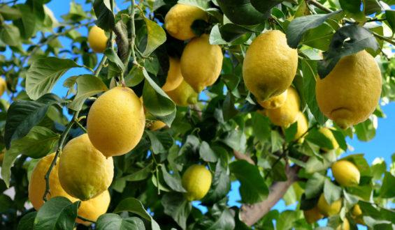 Efectivo control biológico de Sader reactiva la productividad de citricultores de Oaxaca, Chiapas y Morelos