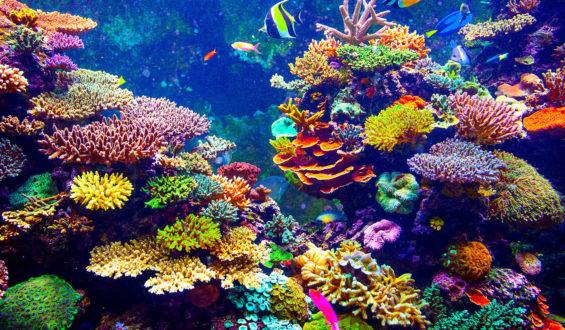 Producirá Inapesca 265 mil colonias de corales para restaurar arrecifes del Caribe