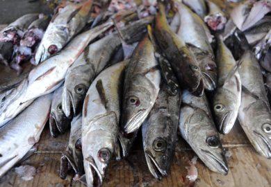 Se otorgarán permisos para la pesca de merluza en el norte del país