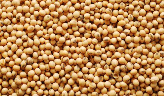 Libera Sader variedades mejoradas de soya en el estado de Campeche