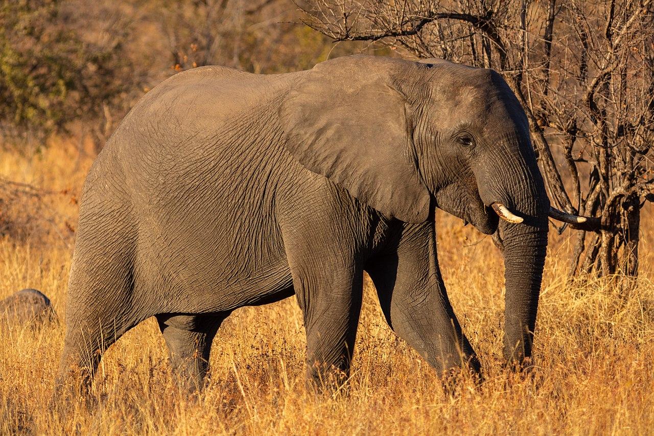 Votan prohibición casi total de la venta de elefantes africanos a zoológicos