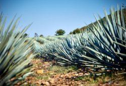 Desarrollan técnicas para autentificar tequilas