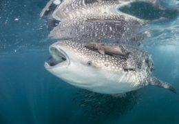 Descubren nueva especie de crustáceos en la boca de un tiburón ballena