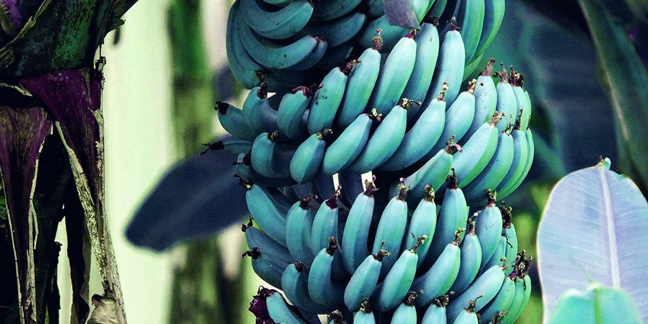 Este plátano azul es resistente al frío y tiene sabor a helado de vainilla