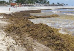 Se han recolectado más de 80 mil toneladas de sargazo en las playas mexicanas