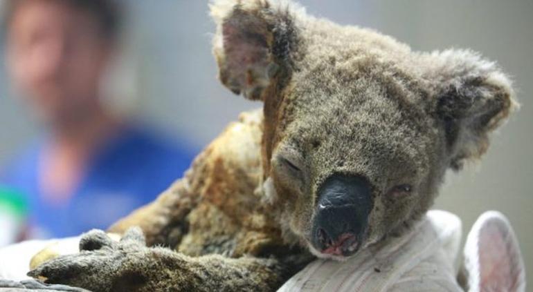Sacrifican al koala «Lewis» por la gravedad de sus heridas