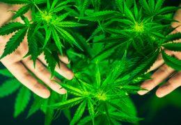No se apresurará la dictaminación sobre la regulación del cannabis
