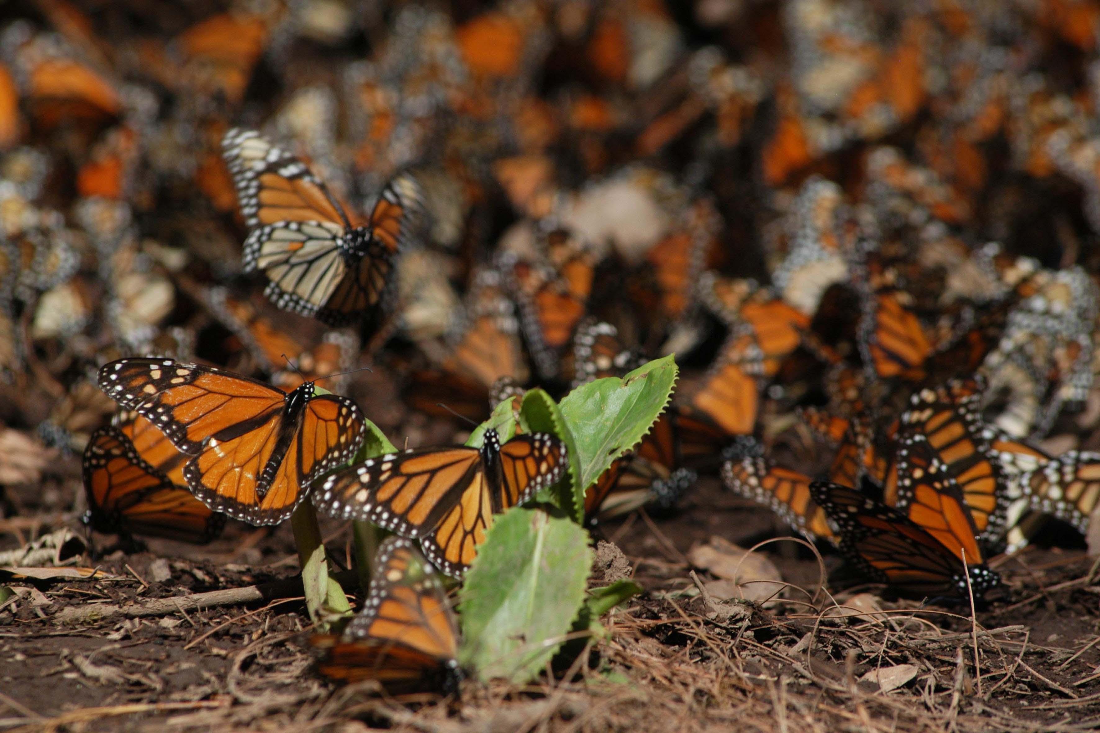Detienen a siete personas por tala ilegal en Reserva de Mariposa Monarca
