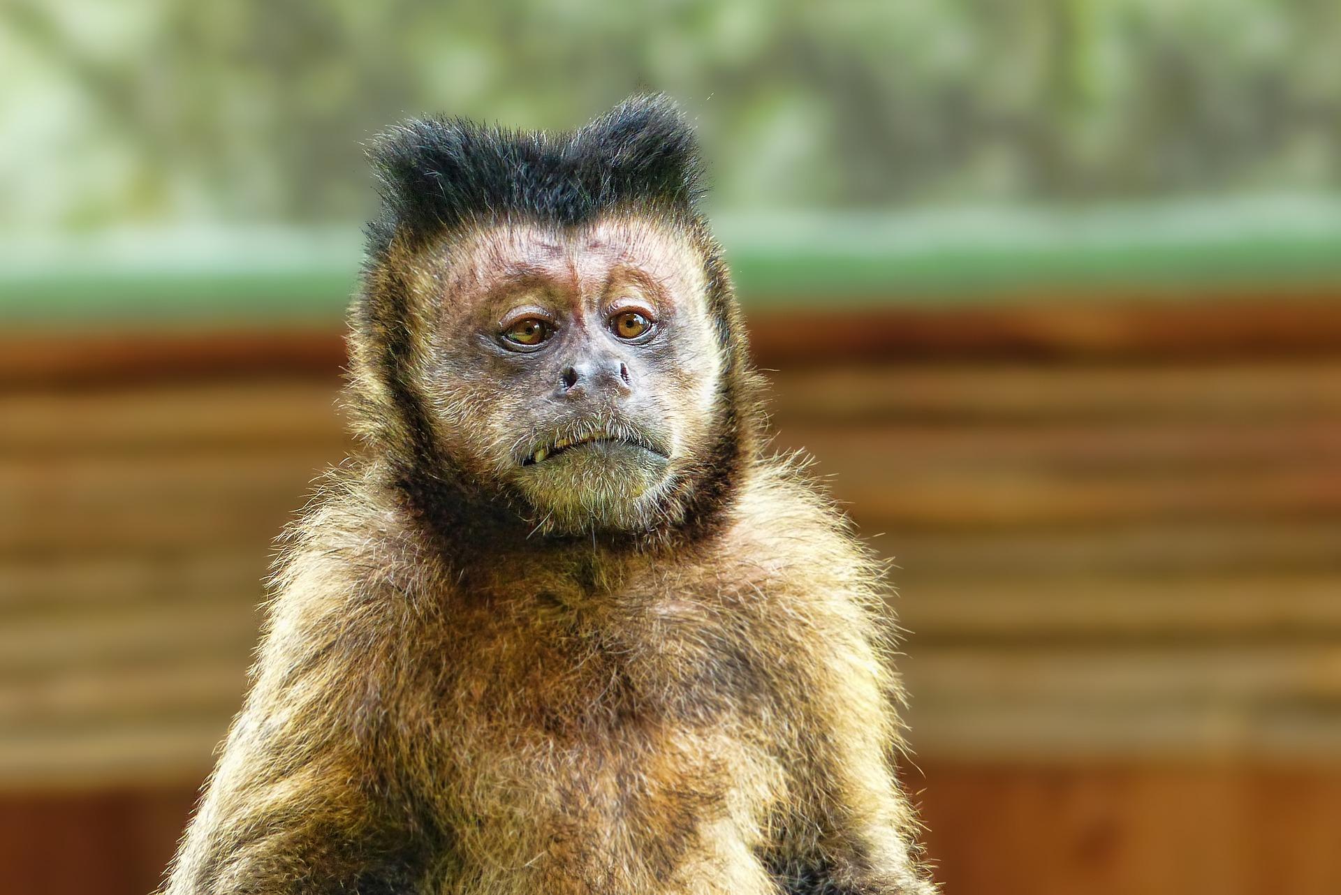 Mono «borracho» asesina a niña. Fue condenado a prisión.