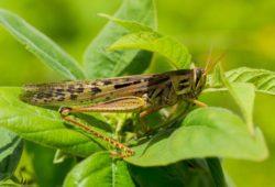 Destinan 25 millones de pesos para proteger cultivos de la plaga langosta voladora