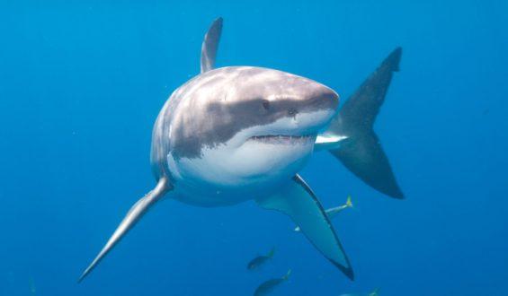 Piratas chinos acechan al tiburón blanco en Baja California