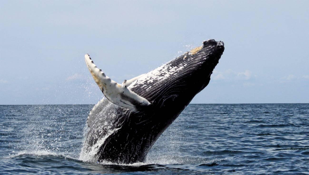 Salvan en Australia a una ballena tras seis días varada